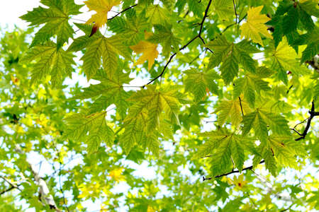 Autumn, maple leaves in a city park  photo