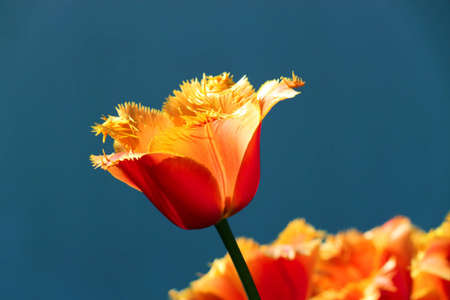 Red tulip in the spring in city park Stock Photo - 8269823