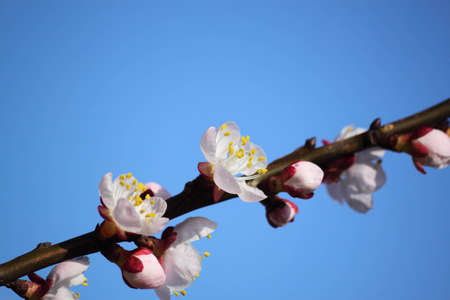 flowerhead: Cherry blossoms in spring on a sunny day