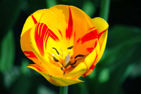 Yellow tulip in the spring in city park Stock Photo - 9504161