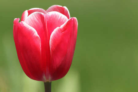 Red tulip in the spring in city park Stock Photo - 9504175