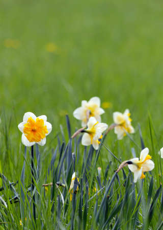 Narcissus in the grass in a city park on spring day Stock Photo - 9504183
