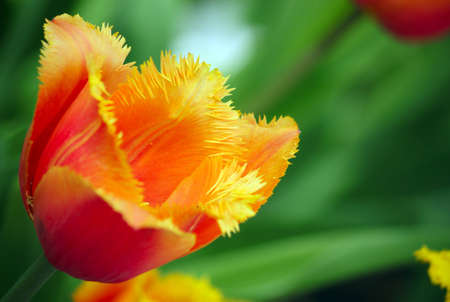 Red tulip in the spring in city park