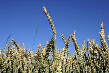 corn against blue sky Stock Photo - 3283610