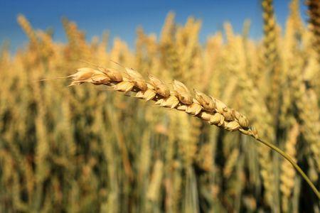 spike against corn field Stock Photo - 3317430