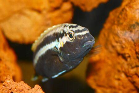 fish in aquarium against rock background Stock Photo