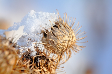 close up of thistle in winter time against blue sky