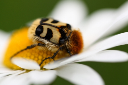 close up od Trichius rosaceus (bee beetle) on daisy flower photo