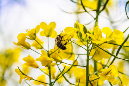 canola plant: close up of yellow canola plant with bee (Brassica napus) Stock Photo