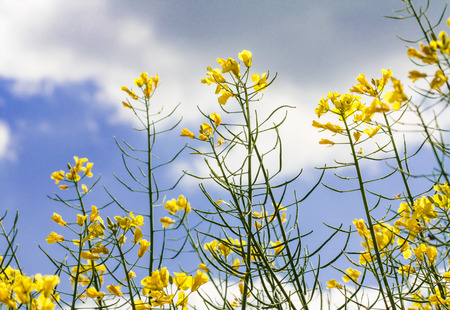 canola plant: close up of yellow canola plant (Brassica napus)