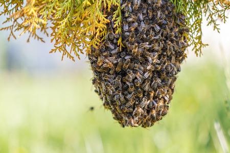 hundreds and thousands: swarm of bees on a tree branch