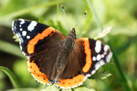 etymology: close up of the Red Admiral butterfly (Vanessa atalanta) Stock Photo