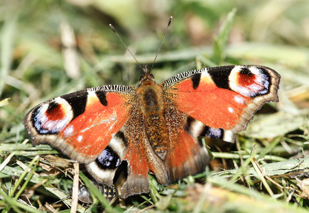 etymology: close up of European Peacock butterfly (Inachis io) Stock Photo