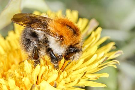 bombus: common carder bee (Bombus pascuorum) on the dandelion