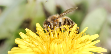 mellifera: a small bee (Apis mellifera) on the dandelion collecting honey