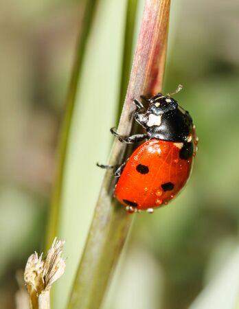 septempunctata: ladybird insect climbing flower stem with water drops (Coccinellidae septempunctata)