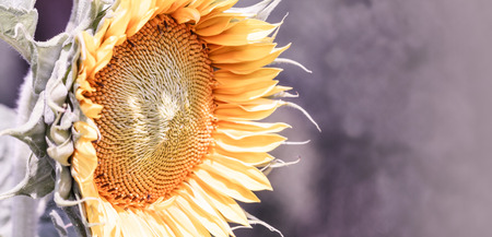 tinge: close up of a colorful sunflower - letterbox look image with purple tinge