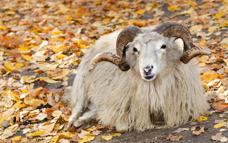 ovis: bighorn sheep sitting on the ground (Ovis canadensis) Stock Photo