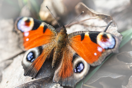 close up of European Peacock butterfly (Inachis io) Stock Photo