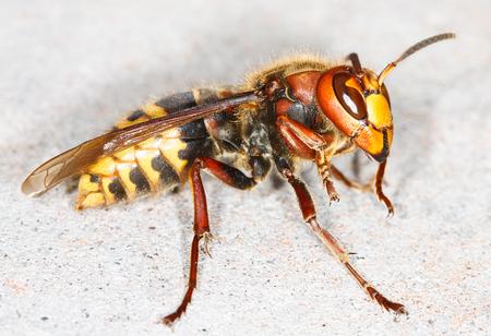 close up of European hornet