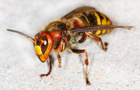 close up of European hornet (Vespa crabro)