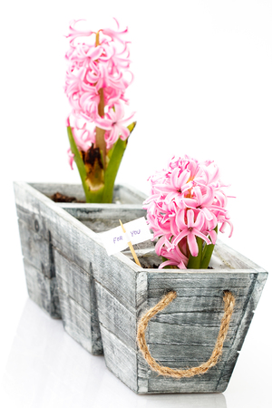 two blooming pink hyacinth on white background - love theme with text for you