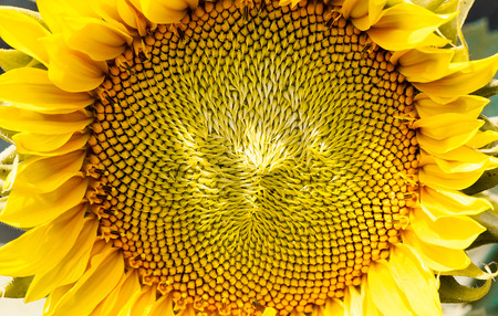 close up of a sunflower in summer time