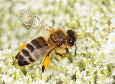 mellifera: close up of a small bee (Apis mellifera) on flowers of elder collecting honey