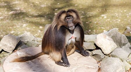 The gelada (Theropithecus gelada), called the bleeding-heart monkey or the gelada baboon. He lives in the Ethiopian Highlands