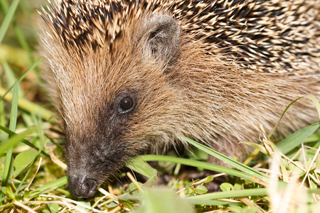 A foraging European hedgehog in the autumn looking for food