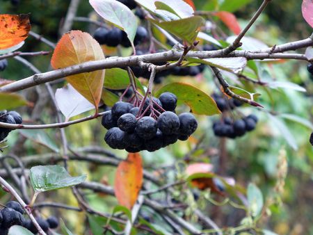 mountain ash: Black mountain ash Stock Photo