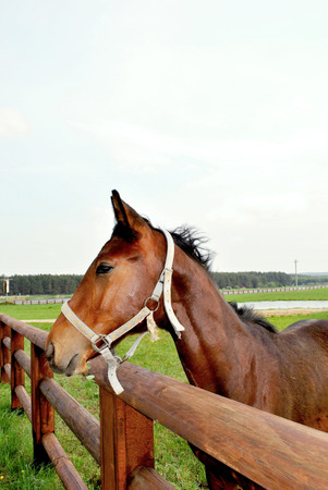 The young playful foal of beautiful chocolate color is grazed on a farm. Stock Photo