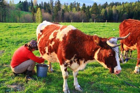 Woman milking cow photo