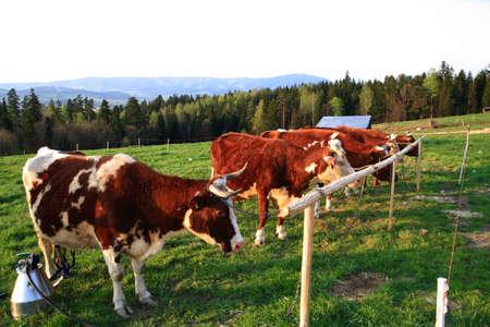Orde�ar vacas Foto de archivo - 9444975