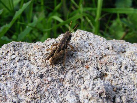 ,cricket