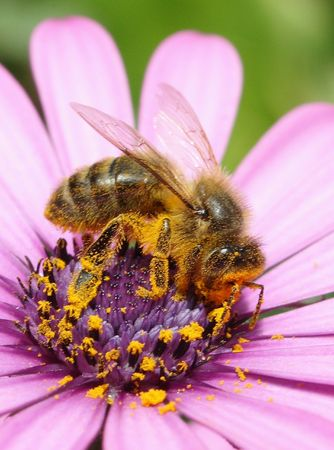 A bee Stock Photo