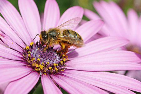 Un'ape sul rechercher fiore