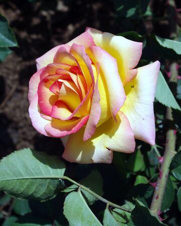 fotografia di rose