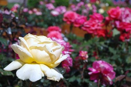 fotografia di rosa