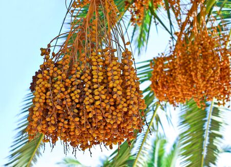 dates fruit: Riped date Fruits cluster hanging on a palm tree
