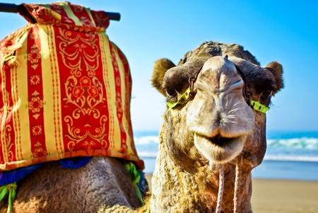Kamel / Dromedar am Strand in Marokko Standard-Bild - 12100495