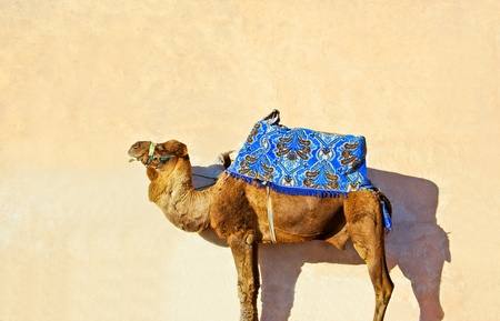 Camel  Dromedary at the beach in Morocco photo