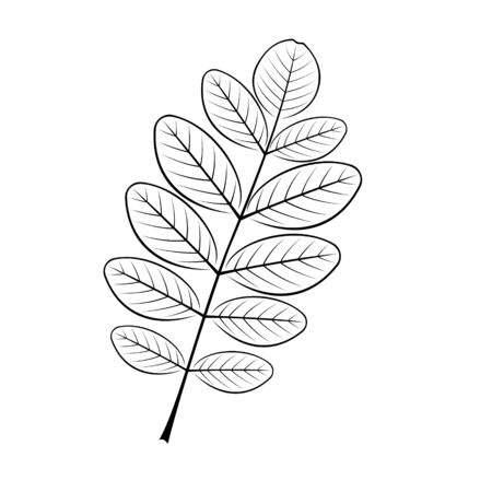 black and white vector illustration of the acacia sheet Иллюстрация