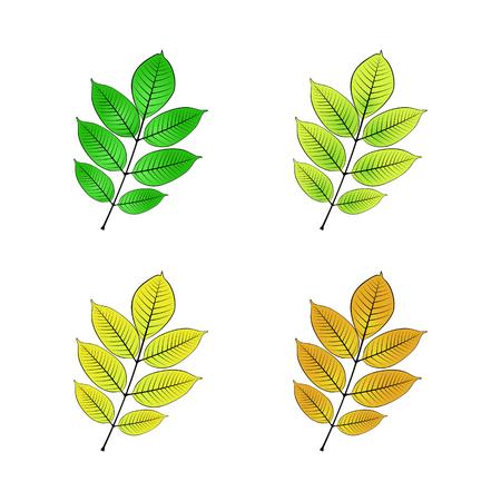 Color variations vector illustration of ash leaf.
