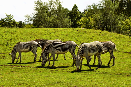 herd of The Grevys zebra (Equus grevyi) saves green grass on a sunny day
