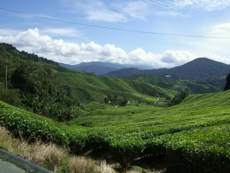 cameron highlands: Tea plantation Cameron Highlands Malaysia Stock Photo