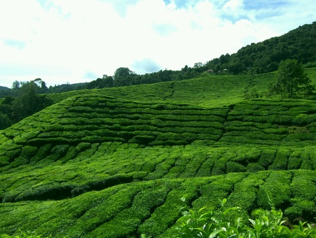 cameron highlands: Tea plantation in Cameron Highlands Malaysia Stock Photo