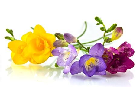 freesia: yellow and violet fresia on white