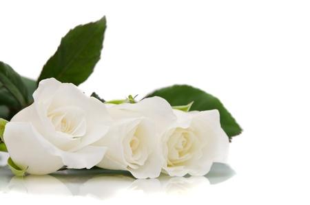 白いバラ 写真素材