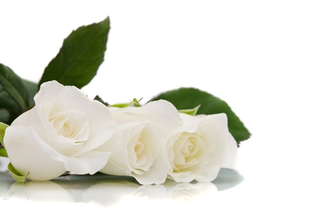 white roses Stock Photo - 16571799